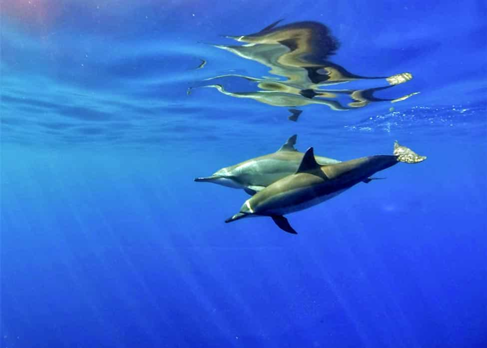 underwater photo of 2 dolphins swimming