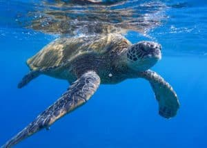 underwater photo of a green sea turtle swimming