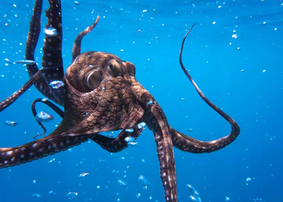 underwater photo of an octopus