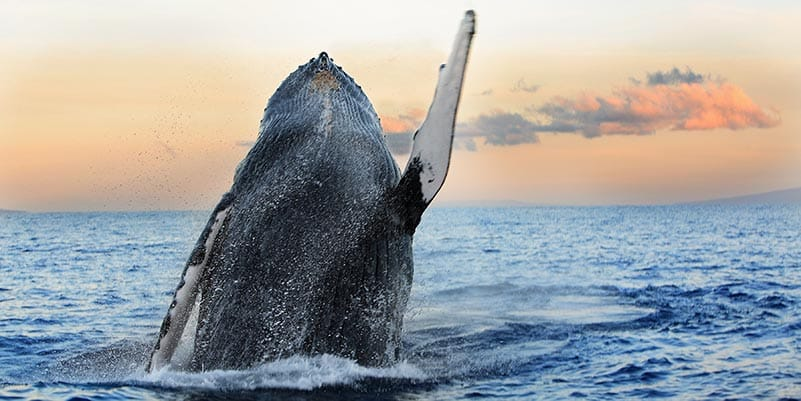 Whale breaching water with sunset in the background
