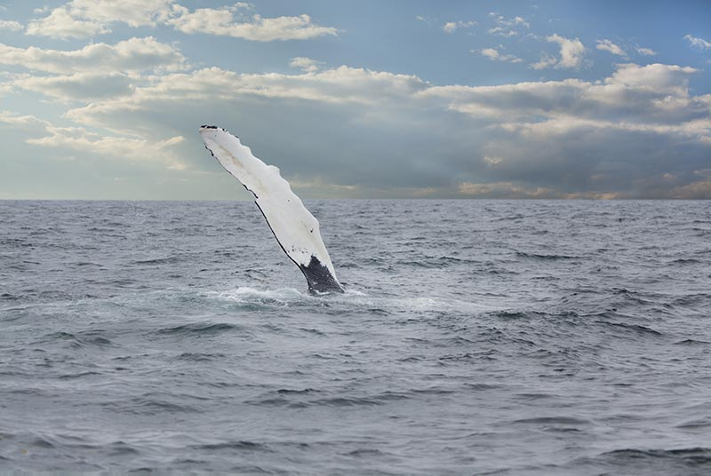 Whale slapping pectoral fin in the water